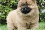 Picture of AKC Nala Chinese Import Father VERY NICE