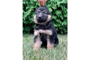AKC Liberty | Puppy at 9 weeks of age for sale
