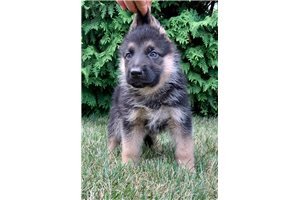 AKC Royalty | Puppy at 9 weeks of age for sale