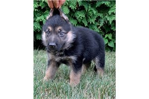 AKC Tracker | Puppy at 9 weeks of age for sale