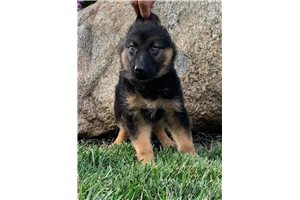 Picture of AKC Liberty