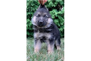 AKC Gretchen | Puppy at 9 weeks of age for sale