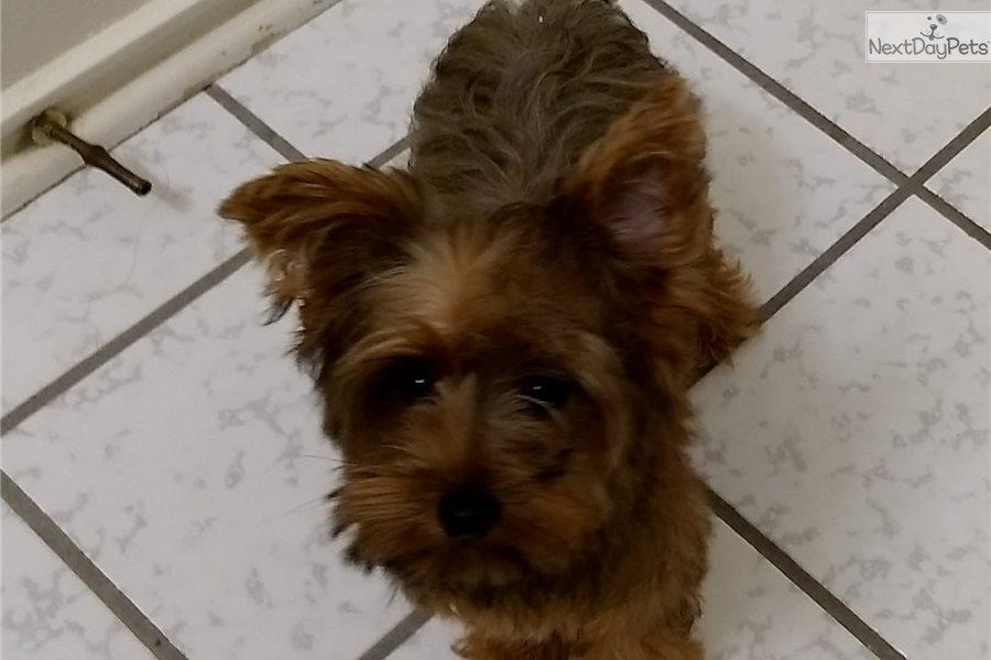 Yorkshire Terrier Yorkie Puppy For Sale Near San Antonio Texas