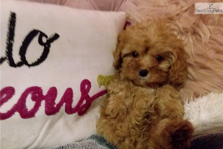 Benji: Cavapoo puppy for sale near Atlanta, Georgia