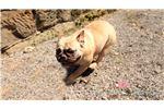 Olde English Bulldogge for sale