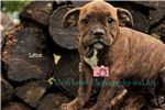 Picture of Family Raised Olde English Bulldogge Puppy