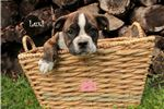 Picture of Gorgeous Olde English Bulldogge Puppy