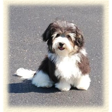 View full profile for Adriane's Havanese