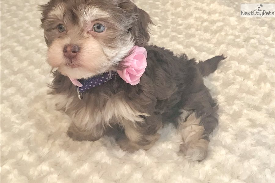 Chocolate Gurl Havanese Puppy For Sale Near Columbus Ohio