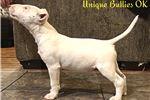 Bull Terrier for sale