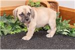 Picture of Kalvin Male Beabull Puppy