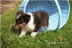 Picture of Sally: Female Shetland Sheepdog
