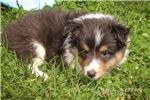Picture of Betsy: Female Shetland Sheepdog