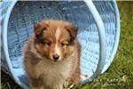 Picture of Sailor: Male Shetland Sheepdog