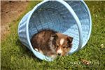 Picture of Snoopy: Male Shetland Sheepdog