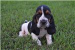 Picture of AKC/UKC Grand Champion Sired Female Basset Hound