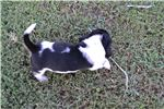 Picture of AKC BASSET HOUND FEMALE