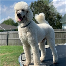 View full profile for Monarch Standard Poodles