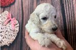 Picture of AKC Mercy White Poodle