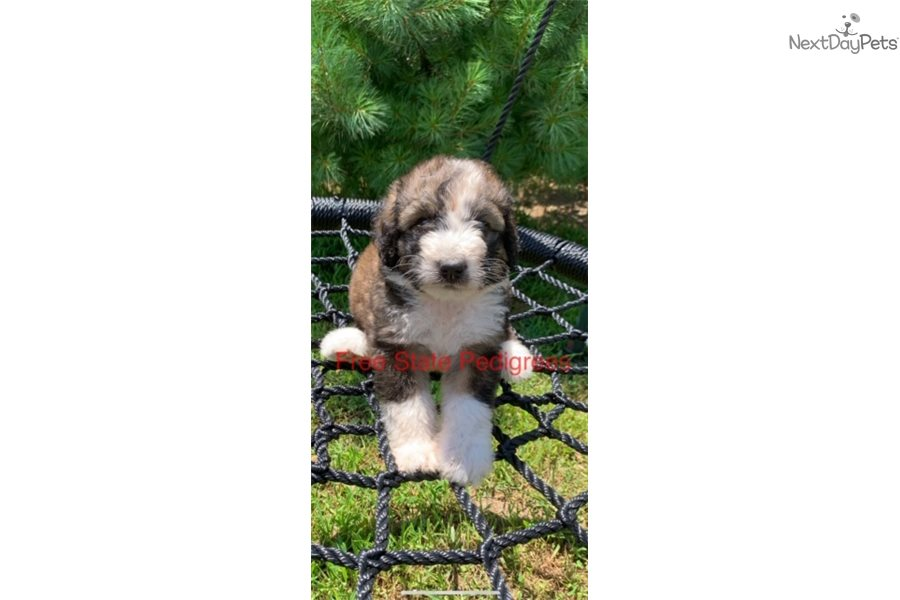Cupcake Bernedoodle Puppy For Sale Near Lawrence Kansas