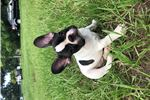 Picture of Beautiful French bulldog Ollie