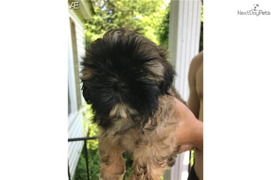 Shih Tzu Puppy For Sale Near Wilmington North Carolina 50bf3d36 6bc1
