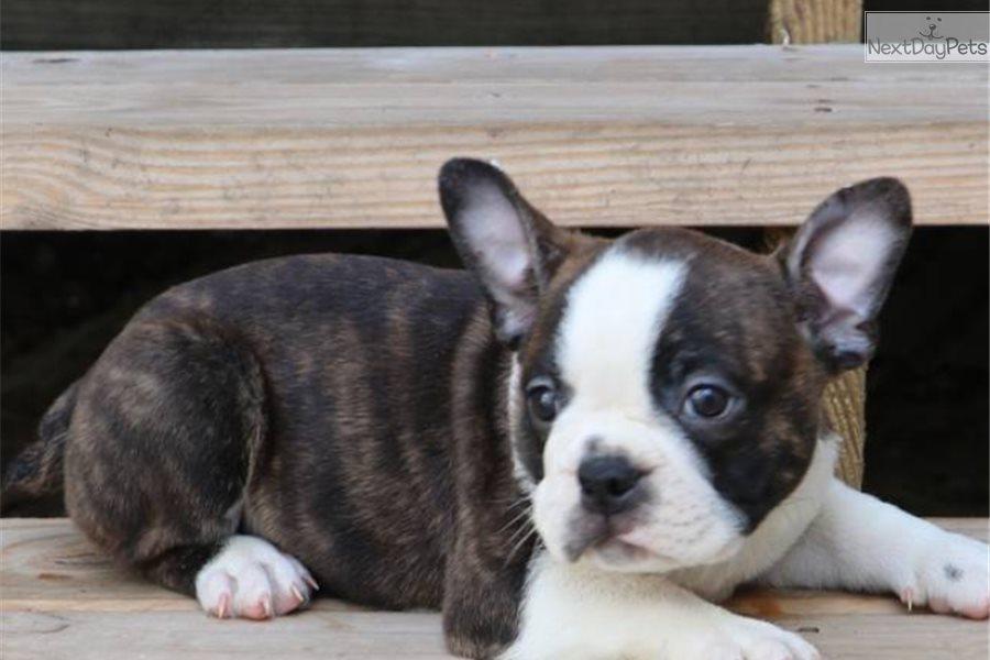 Sumo: French Bulldog puppy for sale near Houston, Texas