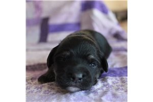 Lucas | Puppy at 2 weeks of age for sale