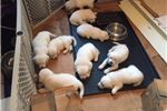 Picture of 100% AKC English Cream male puppies-Charlie