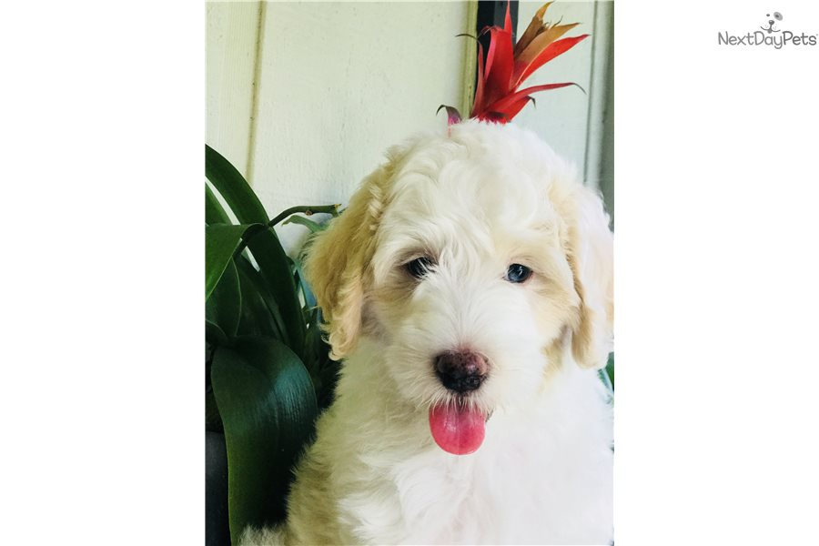 Sheepadoodle puppy for sale near West Palm Beach, Florida | 34790037