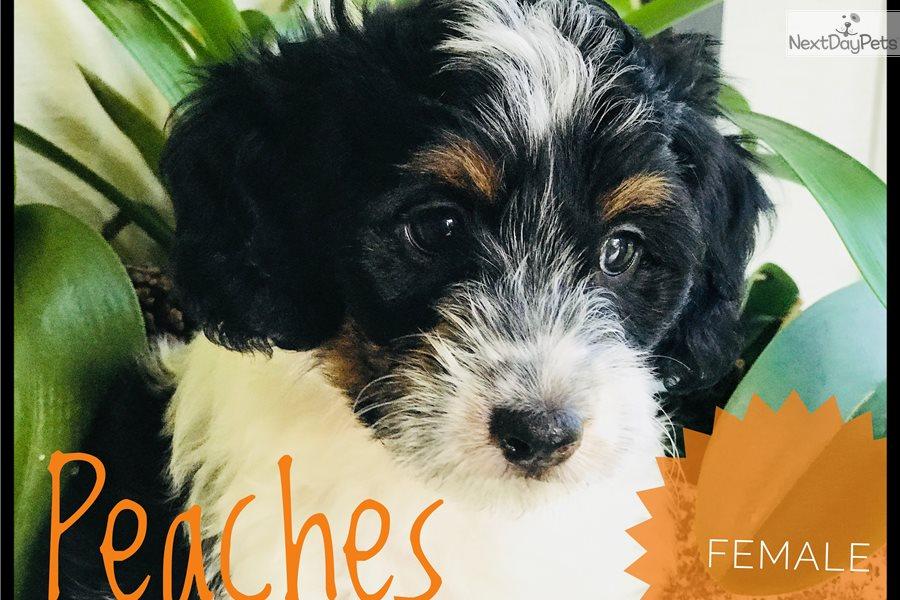 Mini Peaches: Sheepadoodle puppy for sale near West Palm Beach