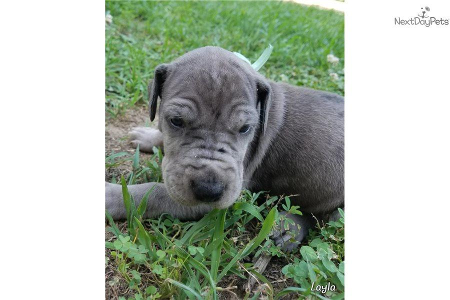 Layla Great Dane Puppy For Sale Near Springfield Missouri