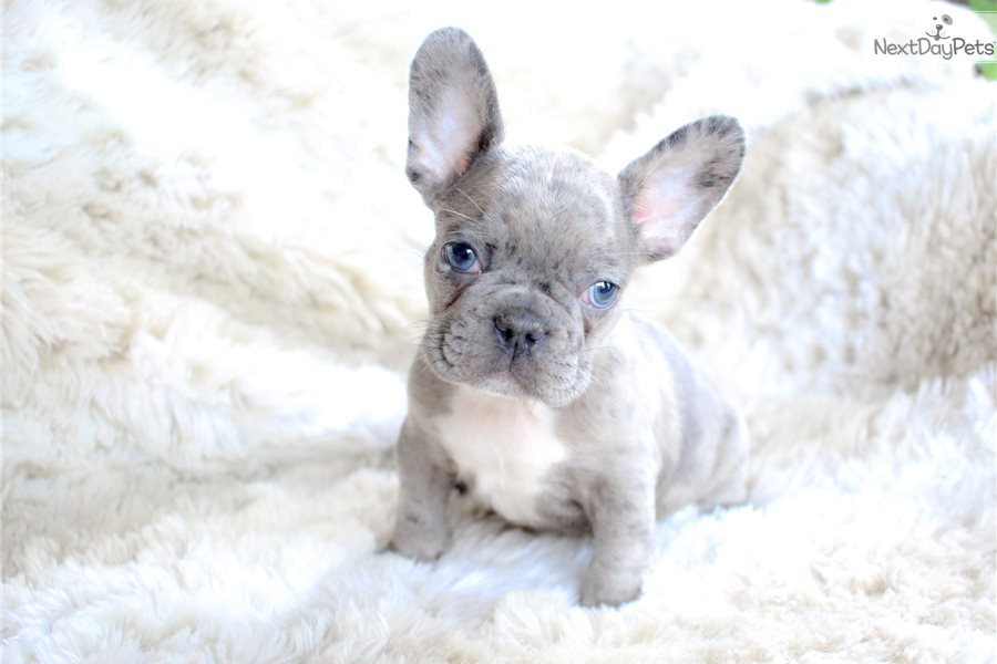Chip: French Bulldog puppy for sale near Akron / Canton