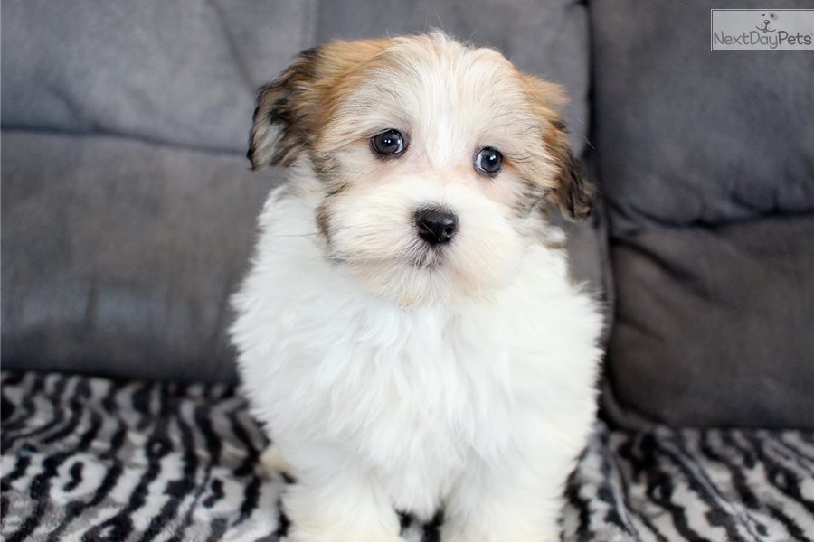 Halo Havanese Puppy For Sale Near Akron Canton Ohio C5ffba34 5351