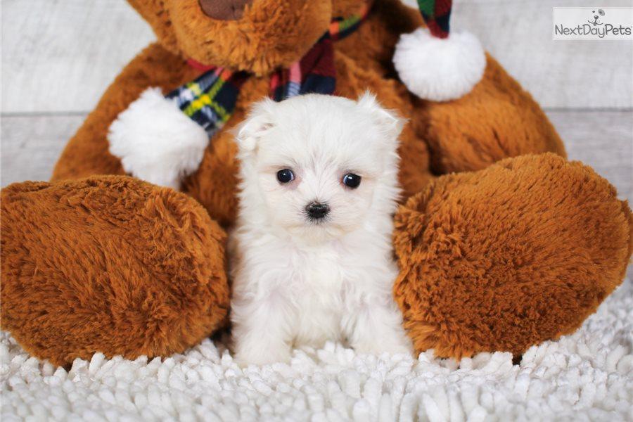 Teacup Austin : Maltese puppy for sale near Akron / Canton, Ohio
