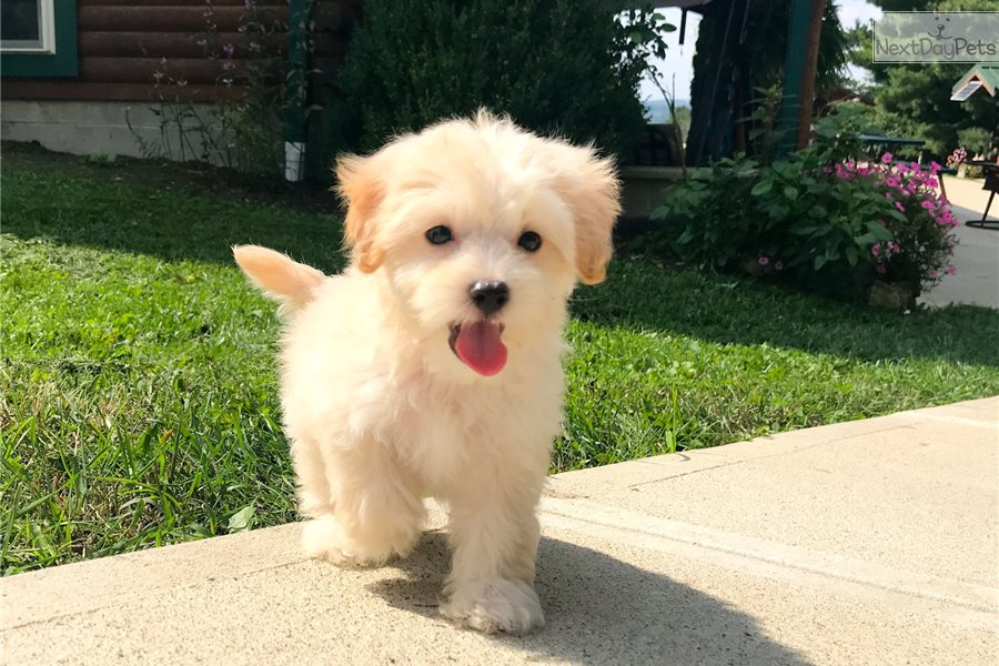 By Photo Congress || Apricot Maltipoo Puppies For Sale Ohio