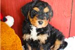 Picture of a Bernedoodle Puppy
