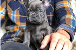 Picture of 'Bullet' BLUE Frenchie Male Puppy!