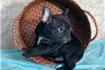 Picture of 'Knight' Adorable Frenchie Male Puppy!