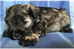 Picture of Male Schnoodle ??