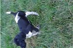 Picture of Quality German Shorthaired Pointer Puppy