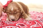 Goldendoodle Puppies For Sale From Iowa City Iowa Breeders