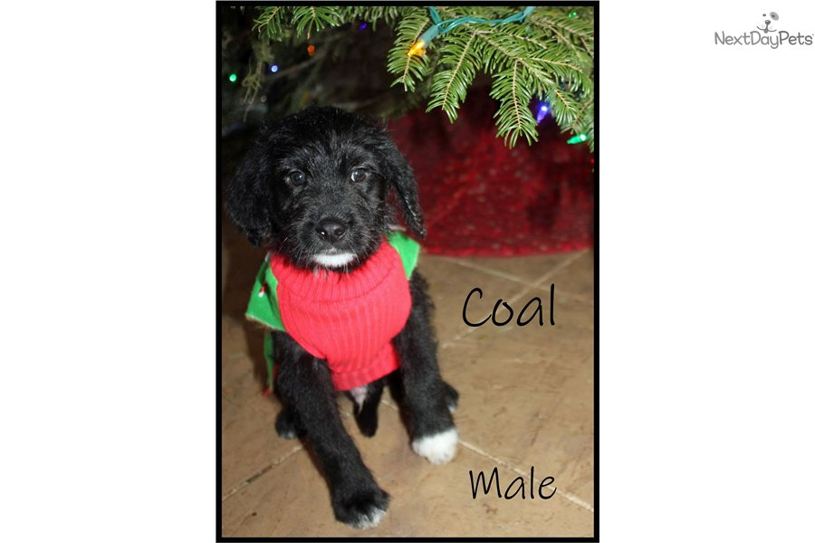 Coal Labradoodle Puppy For Sale Near Spokane Coeur D