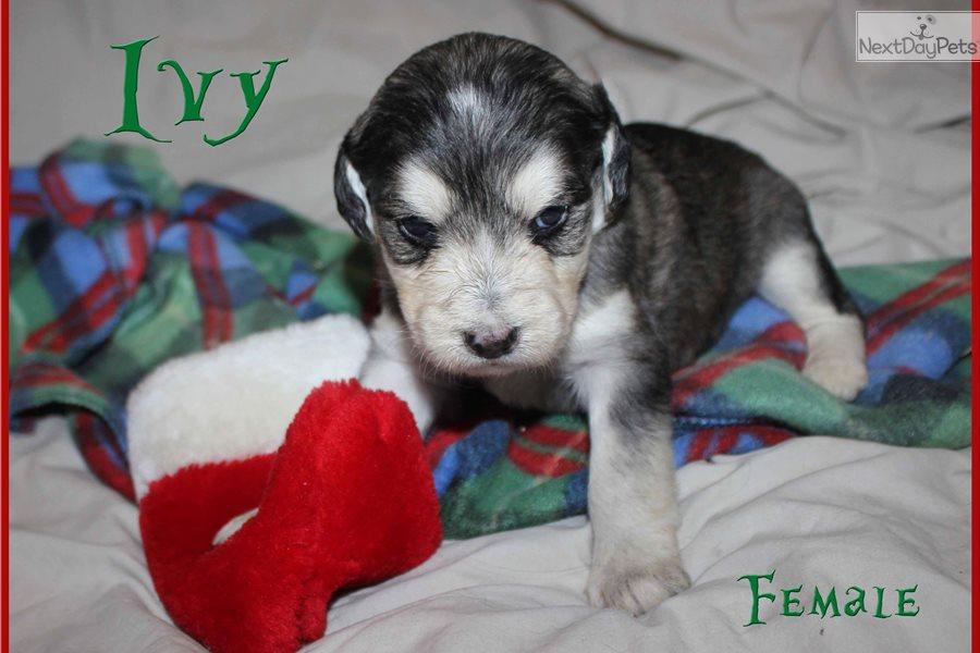Ivy Labradoodle Puppy For Sale Near Spokane Coeur Dalene