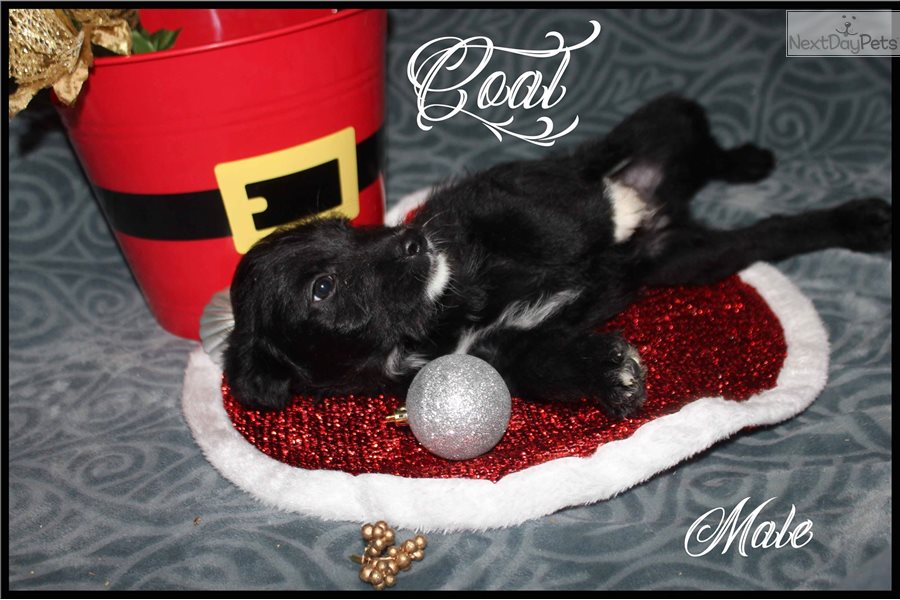 Coal Labradoodle Puppy For Sale Near Spokane Coeur D