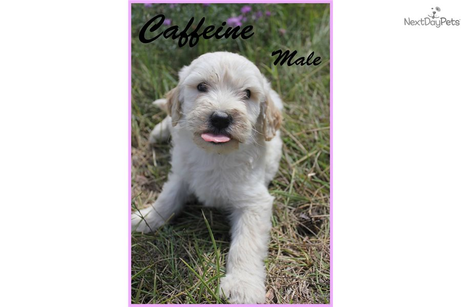 Whoodle Puppy For Sale Near Spokane Coeur Dalene