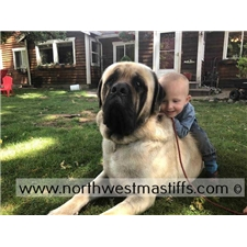 View full profile for Northwest Mastiffs