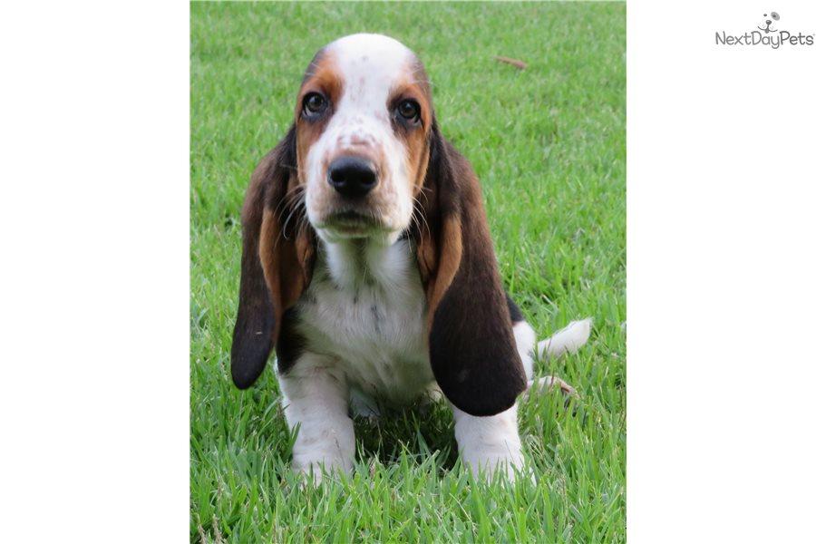 Basset Hound Puppy For Sale Near Orlando Florida Cdc6586e Ad91