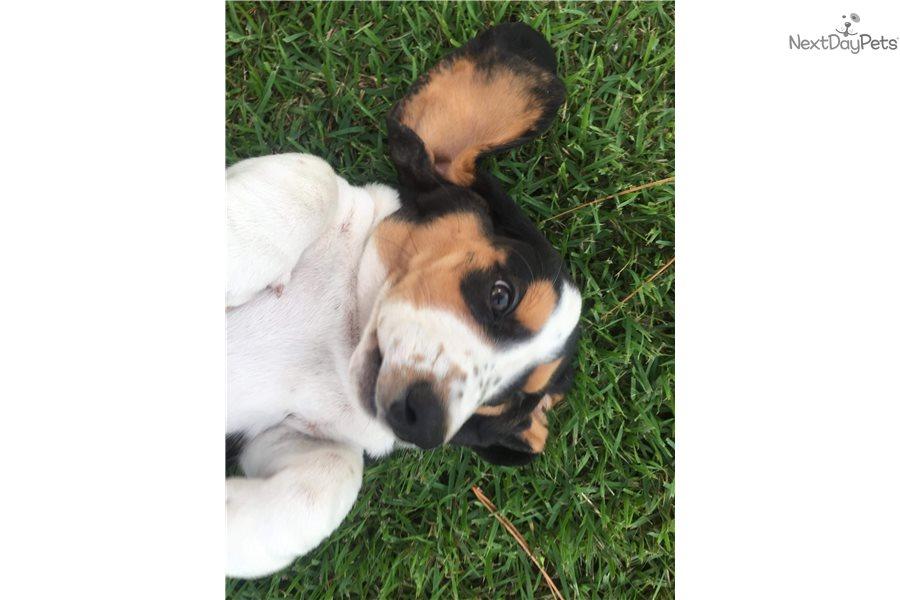 Basset Hound Puppy For Sale Near Orlando Florida 973d6d89 B501