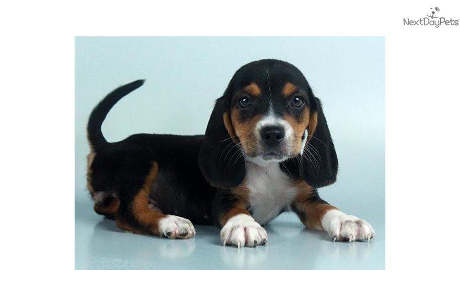 Beagle Puppy For Sale Near Orlando Florida Aefb53fa Ce01